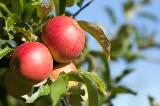 사과 열매